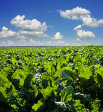 Beet sugar field with blue sky. Beet sugar field with cloudly blue sky stock photo