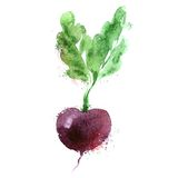 Beet vector logo design template. vegetables or Royalty Free Stock Photos