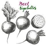 Beet vegetable set. Detailed engraved. Vintage hand drawn vector illustration realistic sketch Stock Photos