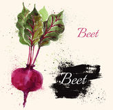 Beet in watercolor technique. Beautiful hand painted vector illustration with beet in watercolor technique. Beautiful card Stock Photography