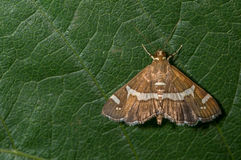 Free Beet Web Worm Moth Royalty Free Stock Photo - 77750375