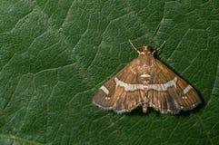Beet Web Worm Moth Royalty Free Stock Photo