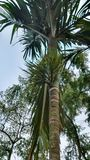 Beetel dokrętki drzewo Zdjęcia Stock