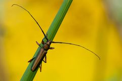 Beetle, long horned, long antenna stock photo