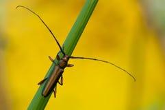 Beetele, longue antenne à cornes et longue photo stock