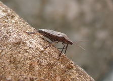 Beetle. Big beetle on the rock Stock Photography
