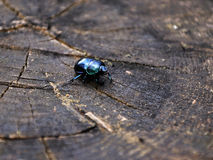 Beetle. On the stump in the South Bohemia stock photos