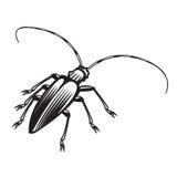 Beetle. Black beetle isolated on white background Royalty Free Stock Photo