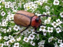Beetle 2 Stock Photos