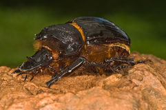 Beetle. Adult beetles emerge during summer.  There is a great variety  fullfilling many roles in an ecosystem.  Some are garden pests Royalty Free Stock Image