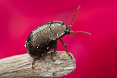 Beetle. Close up with red background Stock Photo