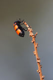 Beetle. A high resolution image of a beetle on a twig Stock Photography
