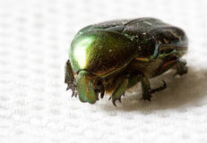Beetle. A colorful beetle on a white cloth Stock Image