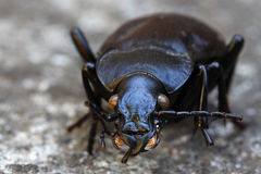Beetle Royalty Free Stock Image