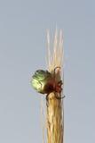 Beetle. (Protaetia Aeruginosa) on the ear of grain Stock Photos