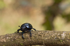 Beetle Stock Photos
