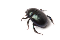 Beetle Stock Photography