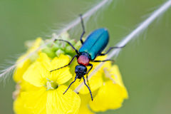 Blister Beetle Stock Photos