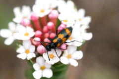 Beetle. A big beetle insect on flower in Mongolia Field, macro Stock Images