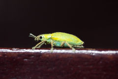 Beetle. Green beetle perched on a chair Royalty Free Stock Images