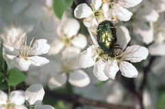 Beetle. On White Cherry Flowers royalty free stock photos