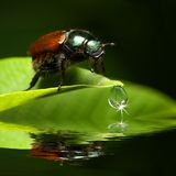 Beetle above water level Stock Photos