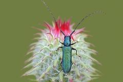 Beetle Agapanthia violacea Stock Images