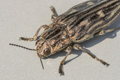Beetle Agriotes lineatus macro Royalty Free Stock Photo