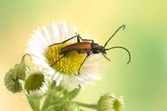 Beetle Anastrangalia reyi Stock Images