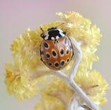 Beetle Anatis ocelata Stock Photography