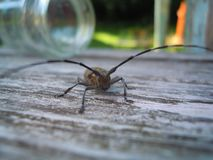 Beetle with antennae on the Board. Taupe wood beetle closeup. There`s a glass jar in the background stock photo