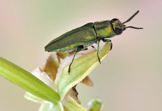 Beetle Anthaxia sponsa Stock Image