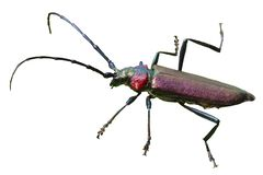 Beetle barbel. additional file png. Barbel beetle on a transparent background stock photography