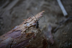 Beetle barbel on the bark. Beetle barbel on the bark of a tree in the forest royalty free stock image