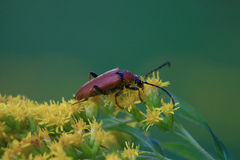 Beetle barbel. Big brown beetle barbel have pollen small yellow flowers, in the summer day stock photo