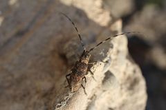 Beetle barbel on stone Cerambycinae. Beetle barbel on sand stone lat. Cerambycinae - eastern europe stock images