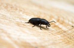 Beetle barbel Stock Images
