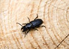 Beetle barbel Royalty Free Stock Photography
