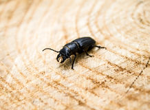 Beetle barbel Royalty Free Stock Images