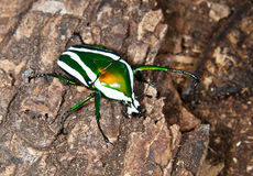 Beetle on the bark Royalty Free Stock Images