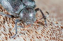 Beetle on the bark. Stock Photography