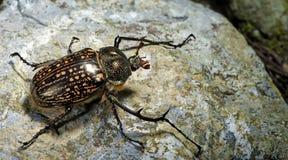 Beetle, Beetle Beautiful, Beetle of Thailand. Beetle Cheirotonus gestroi on the rock stock images
