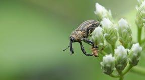 Beetle, Beetle Beautiful, Beetle of Thailand. Beetle Curculonidae , Weeevils, Snout Beetle on white flower stock photos