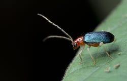 Beetle, Beetle Beautiful, Beetle of Thailand. Beetle feed on green leaf stock photo