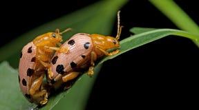Beetle, Beetle Beautiful, Beetle of Thailand. Beetle, Fourteen-spotted Beetle on green leaf stock photography