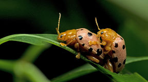 Beetle, Beetle Beautiful, Beetle of Thailand. Beetle, Fourteen-spotted Beetle on green leaf royalty free stock image