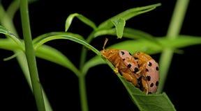 Beetle, Beetle Beautiful, Beetle of Thailand. Beetle, Fourteen-spotted Beetle on green leaf stock photo