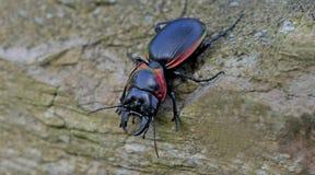 Beetle, Beetle Beautiful, Beetle of Thailand. Beetle, Large Ground Beetle Mouhotia batesi on ground royalty free stock photo