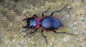 Beetle, Beetle Beautiful, Beetle of Thailand. Beetle, Large Ground Beetle Mouhotia batesi on ground stock photo