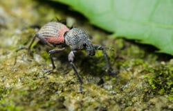 Beetle, Beetle Beautiful, Beetle of Thailand. Beetle, Weeevils, Snout Beetle on green leaf stock photography